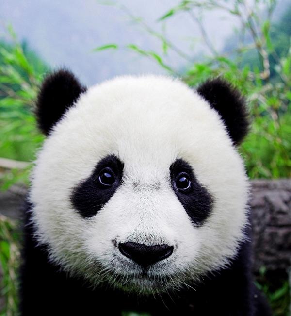 Thưa quý ông và quý bà! - Mr.Panda boy Swag